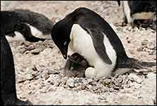 Mother and baby penguin